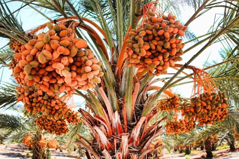 date-palm-ingredient