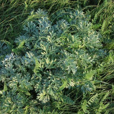 artemisia-absenthium-wormwood